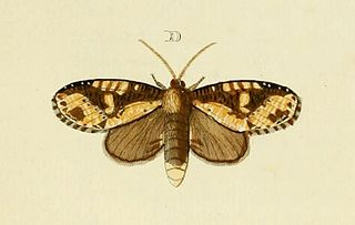 <i>Disphragis</i> genus of insects