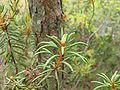 Dixi-Rhododendron tomentosum.jpg