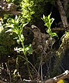 Dog's Mercury near the Bovey - geograph.org.uk - 1761664.jpg