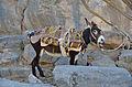 Donkey-Al Hamra.jpg