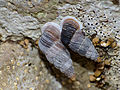 Door Snails (Clausiliidae) (14158480528).jpg