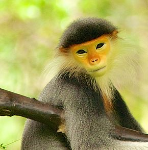 Description de l'image Douc langur (13945311692).jpg.