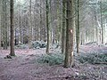 Douglas Fir plantation - geograph.org.uk - 1730213.jpg
