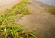Eichhornia - Chi Eichhornia 220px Dried Water Hyacinth in Bangladesh