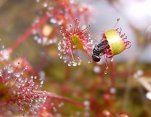 Drosera anglica - A D. anglica leaf bent around a trapped fly