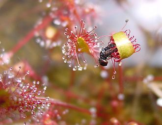 Mucilage - A sundew with a leaf bent around a fly trapped by mucilage.