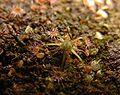 Drosera pygmaea 1.jpg