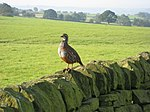 Dry Stone Wall with a Red-Legged Partridge - geograph.org.uk - 970746.jpg