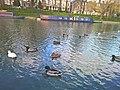Ducks in Cambridge - panoramio.jpg