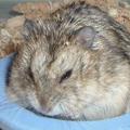 Dwarf hamster.eruanne.png