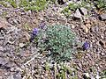 Dwarf lupine - Flickr - brewbooks.jpg