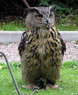 Tecos F.C. - Tecolote (Owl in Spanish)