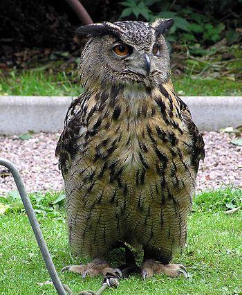 Eagle.owl.arp.750pix