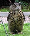 Eagle.owl.arp.750pix.jpg