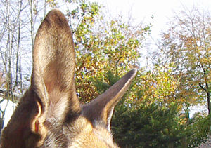 Ears of a dog