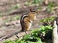 Eastern Chipmunk (Tamias striatus) Pennsylvania.jpg