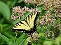Eastern Tiger Swallowtail (27957259299).jpg