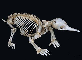 Short-beaked echidna - Skeleton
