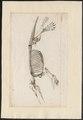 Echidna spec. - skelet - 1700-1880 - Print - Iconographia Zoologica - Special Collections University of Amsterdam - UBA01 IZ20300200.tif