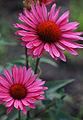 Echinacea-'Ruby-Glow'.jpg