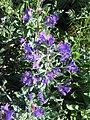 Echium plantagineum3.jpg