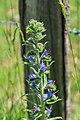 Echium vulgare in Aveyron (2).jpg