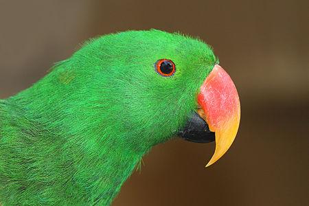 Portrait of a male Eclectus Parrot, Eclectus roratus