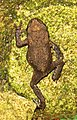 Eisenberg Frosch1.jpg