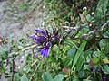 Eklebire, medicinal herb - panoramio.jpg