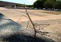 El increible insecto palo.JPG