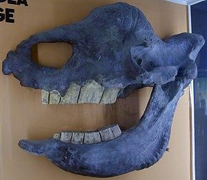 Elasmotherium - Elasmotherium sibiricum skull cast at the Museum für Naturkunde, Berlin