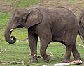 Elephant (5017599571).jpg