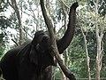 Elephant from Bannerghatta National Park 8691.JPG