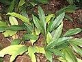 Elettariopsis curtisii.JPG