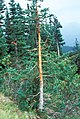 Elk scraped sub-alpine fir. 101980. slide (9d97923b552f4ee7b49c58a67c5a7424).jpg