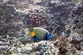Emperor angelfish Pomacanthus imperator (5816836540).jpg