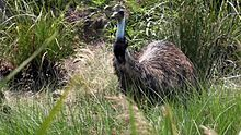 Dosiero:Emu feeding on grass.ogv