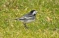 Engelsk Sädesärla Pied Wagtail (31201257583).jpg