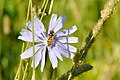 Episyrphus balteatus on Cichorium intybus crop.jpg