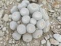 Epithelantha micromeris (5677010154).jpg