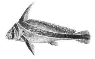 Equetus - Jack-knifefish, Equetus lanceolatus