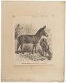 Equus taeniopus - 1700-1880 - Print - Iconographia Zoologica - Special Collections University of Amsterdam - UBA01 IZ21700089.tif