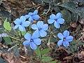 Eranthemum capense at Nedumpoil (9).jpg