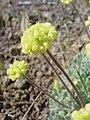 Eriogonum caespitosum-5-01-04.jpg