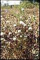 Eriophorum spissum 2-eheep (5097879898).jpg