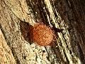 Ero spec. (Mimetidae) - (eggsack), Elst (Gld), the Netherlands.jpg
