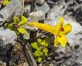 Erythranthe norrisii (Kaweah monkeyflower) (32939306564).jpg