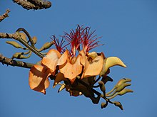 A few spiny branches with developing flowers on them. In the middle are five or more blowing flowers; they have an orange sac in the middle, surrounded by orange flower leaves, with a multitude of red strips on top.