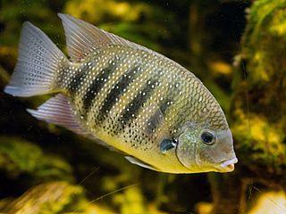 Green chromide Species of fish