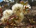 Eucalyptus microcarpa buds.jpg